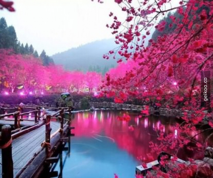 Uluslararası Cherry Blossom Festivali, Japonya