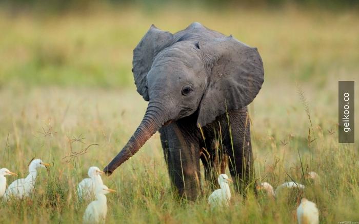 ördeklerle konuşan fil