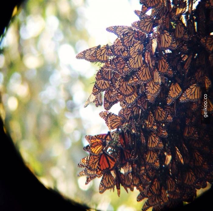 Monarch kelebekleri