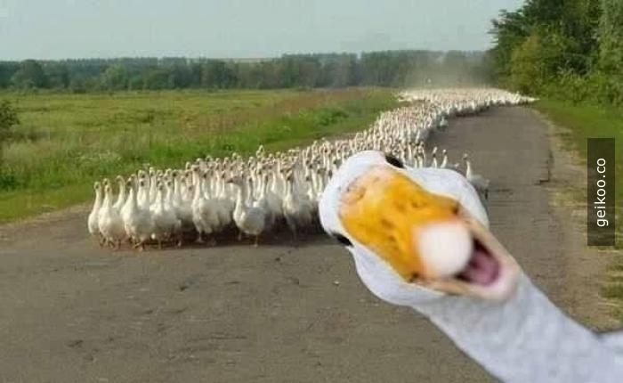 Fotobomb Seviye - Ördek