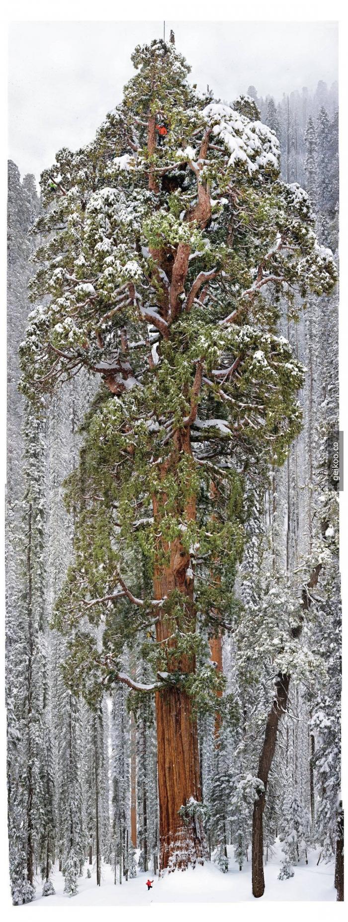 California, Sequoia Ulusal Park'ta bulunan 3200 yıllık ağacın fotoğrafı