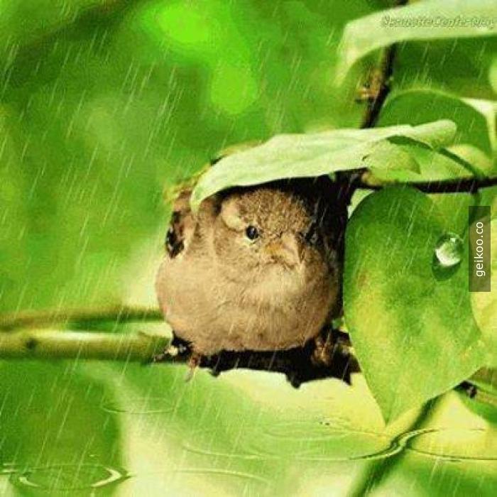 doğal şemsiye