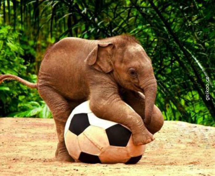 futbol oynayan fil :)
