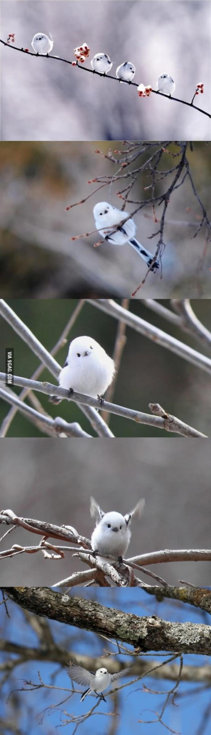 Dünyadaki en sevimli kuşlardan biri (Aegithalos caudatus - Uzun Kuyruk)