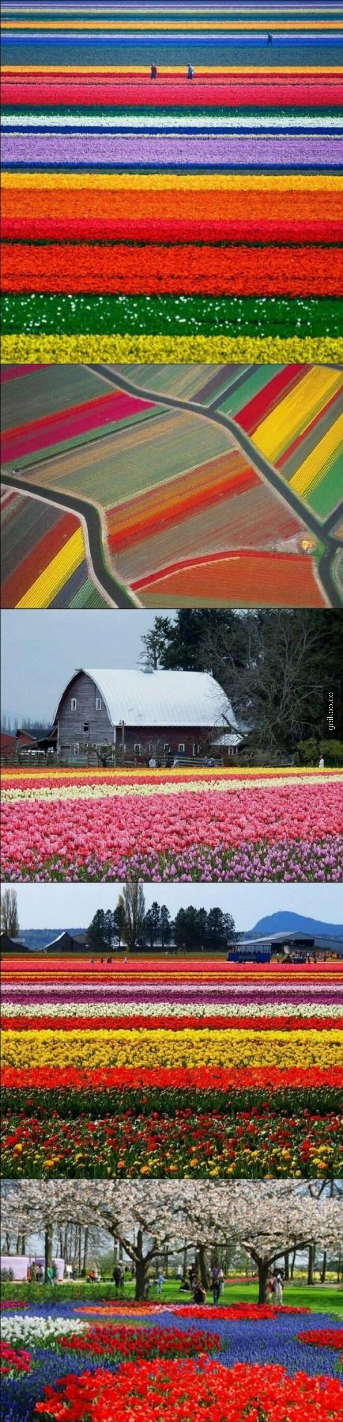 Hollanda'dan lale tarlaları