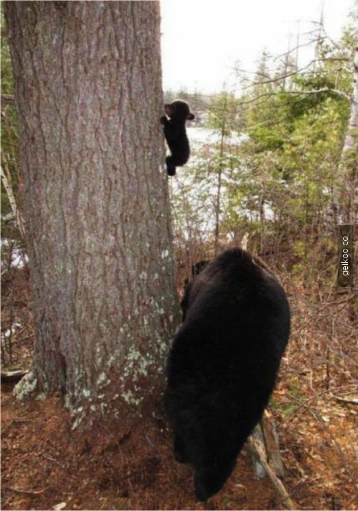 Tırmanmayı öğrenen yavru ayı