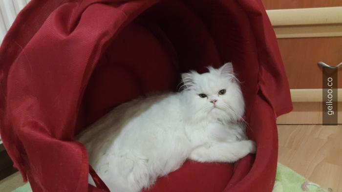 tanıdık suratsiz kedi