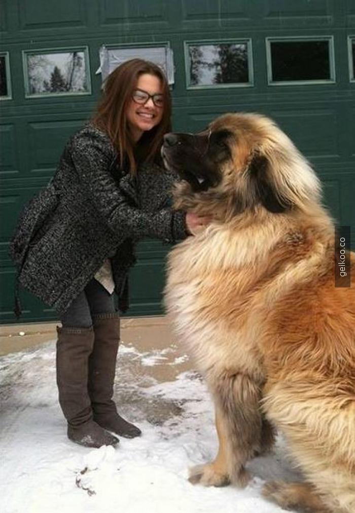 Simbayla tanışın. Alman çoban köpeği..